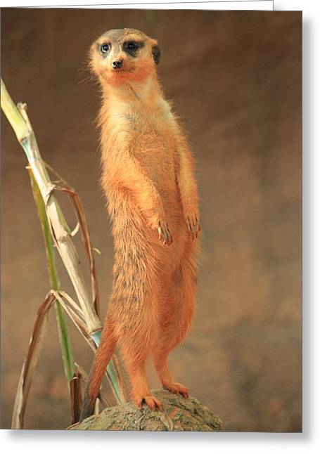 Red Clay Greeting Cards - Meerkat Greeting Card by Mandy Shupp