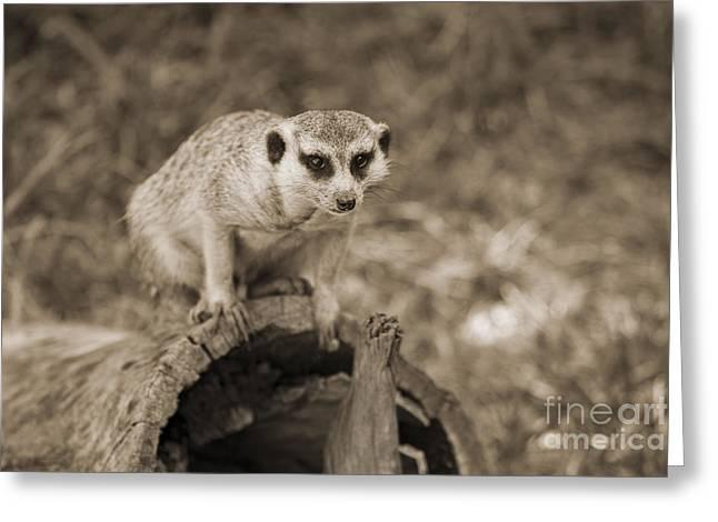 Meerkat Photographs Greeting Cards - Meerkat on a Log Greeting Card by Douglas Barnard