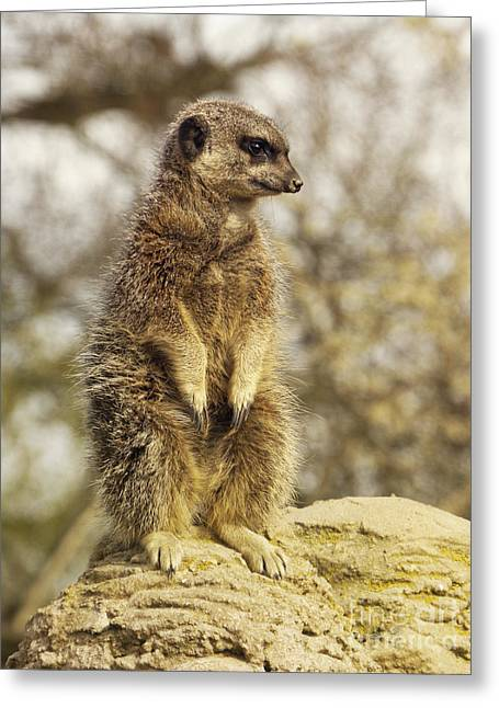 Portrait Photo Greeting Cards - MeerKat on hill Greeting Card by Pixel Chimp