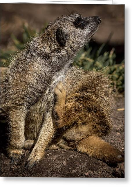 Meerkat Photographs Greeting Cards - Meerkat Scratch that Itch Greeting Card by Ernie Echols