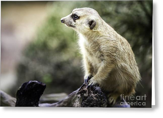 Mouth Guard Greeting Cards - Meerkat Sit On Wood Greeting Card by Anek Suwannaphoom