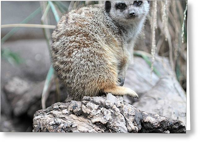 Male Framed Prints Greeting Cards - Meerkat sitting on the rocks Greeting Card by Dwight Cook