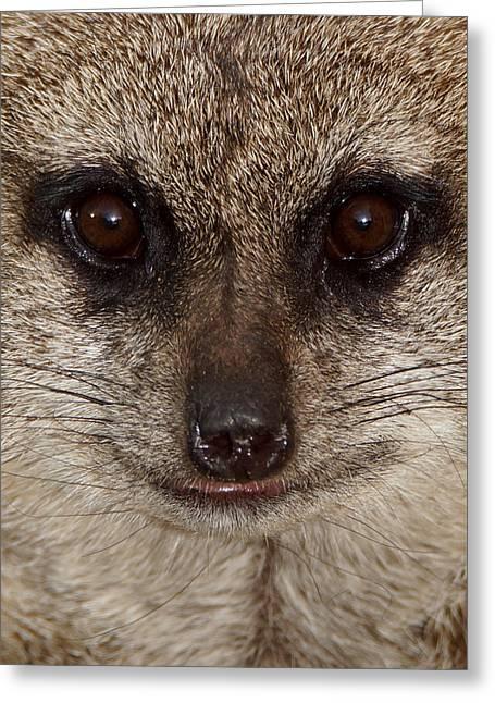 Meerkat Photographs Greeting Cards - Meerkat Stare Down Greeting Card by Ernie Echols