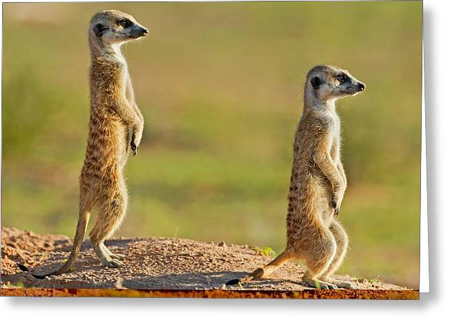 Looking Out Side Greeting Cards - Meerkats keeping watch Greeting Card by Science Photo Library
