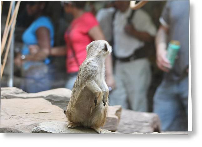 Meerkat Photographs Greeting Cards - Meerket - National Zoo - 01131 Greeting Card by DC Photographer