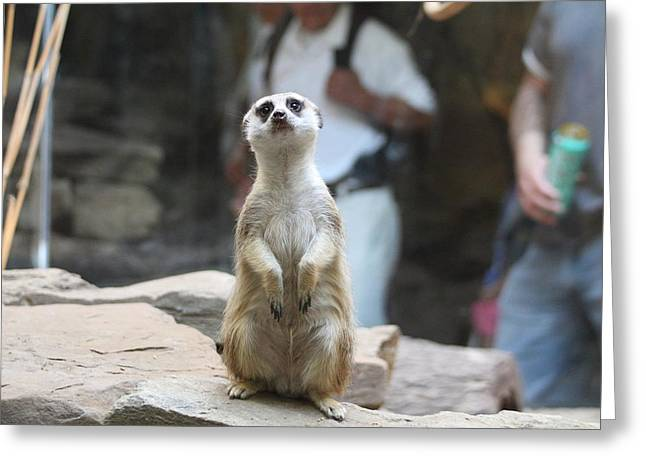 Meerket - National Zoo - 01132 Greeting Card by DC Photographer