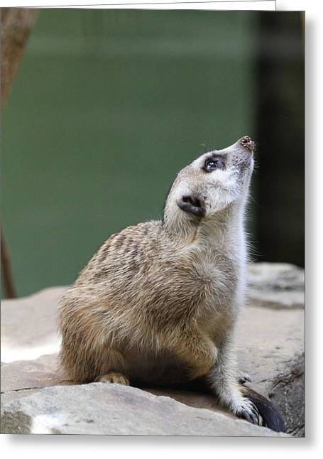 Meerkat Photographs Greeting Cards - Meerket - National Zoo - 01138 Greeting Card by DC Photographer