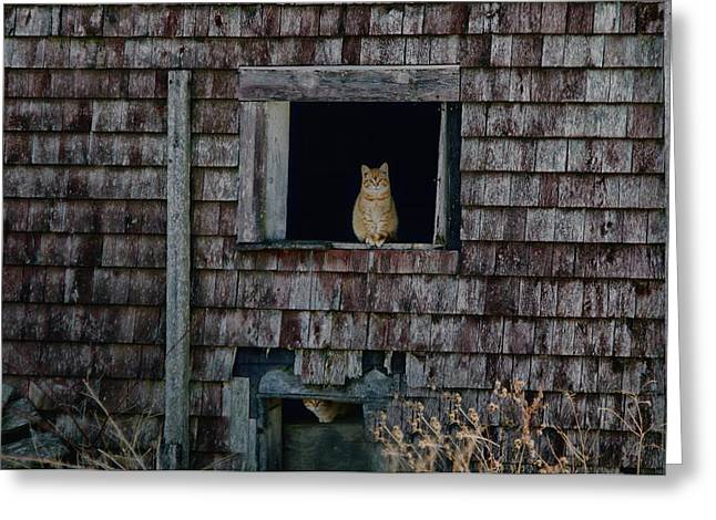 Old Maine Barns Greeting Cards - Meet The New Boss Greeting Card by Susan Capuano