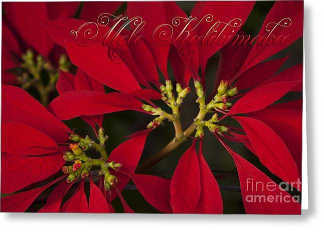 Christmas Greeting Photographs Greeting Cards - Mele Kalikimaka - Poinsettia  - Euphorbia pulcherrima Greeting Card by Sharon Mau