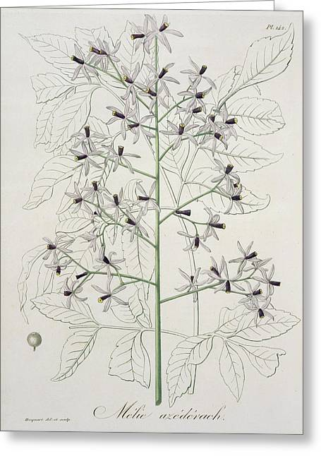 Botany Greeting Cards - Melia Azedarach From Phytographie Greeting Card by L.F.J. Hoquart