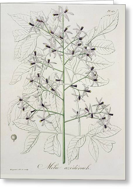 Melia Azedarach From Phytographie Greeting Card by LFJ Hoquart