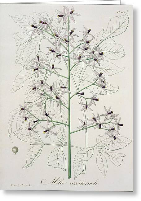 Botany Greeting Cards - Melia Azedarach from Phytographie Medicale by Joseph Roques Greeting Card by L F J Hoquart