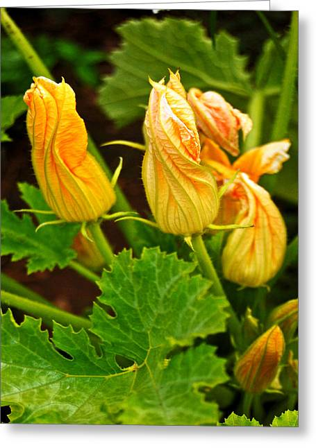 Randall Templeton Greeting Cards - Melon blossoms. Greeting Card by Randall Templeton