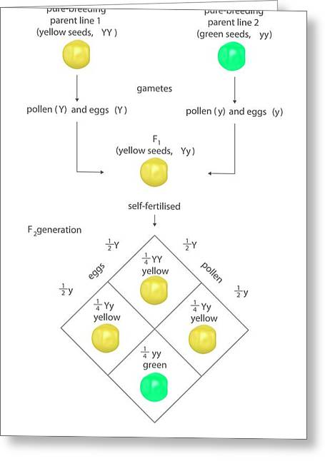 Mendelian Genetics Greeting Card by Science Photo Library