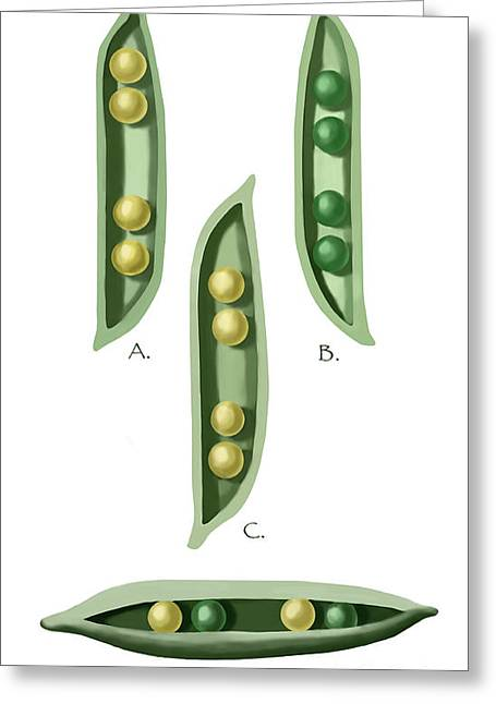 Bred Greeting Cards - Mendels Peas Greeting Card by Spencer Sutton