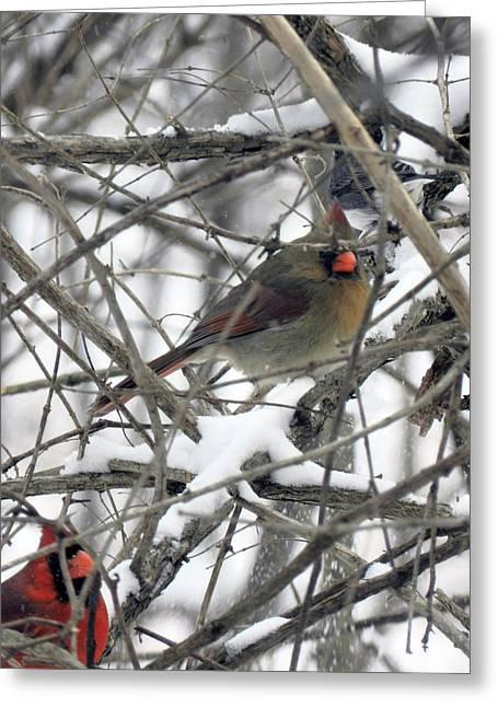 Mendon Greeting Cards - Mendon Ponds Park - Cardinals Greeting Card by Wayne Sheeler