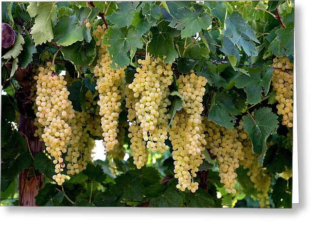 Merbein Seedless Sultana Grapes Greeting Card by Tony Camacho