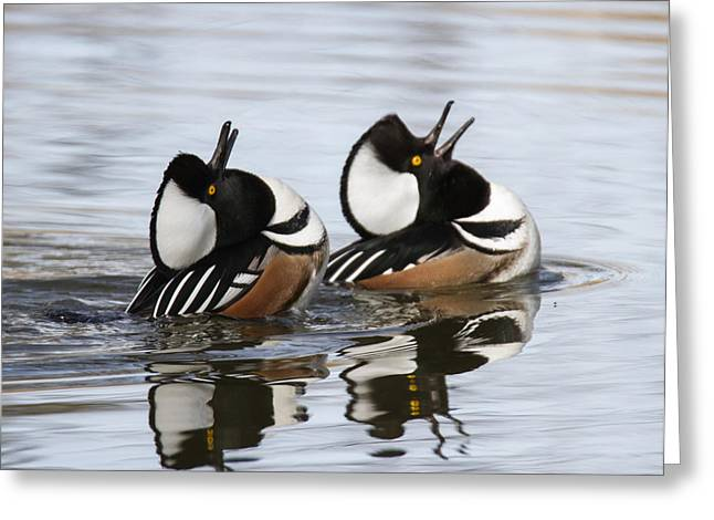 Merganser Display Greeting Card by Angie Vogel