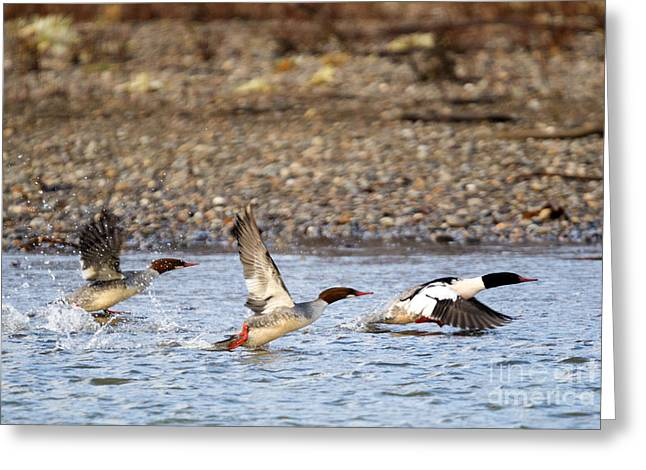 Yakima River Greeting Cards - Merganser Flight Greeting Card by Mike Dawson