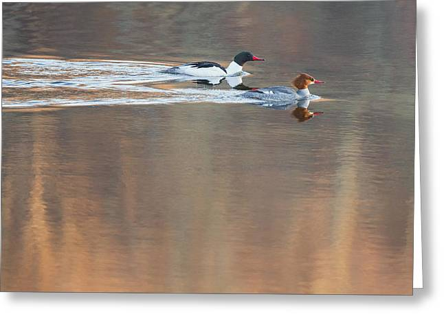 Merganser Morning Greeting Card by Bill  Wakeley