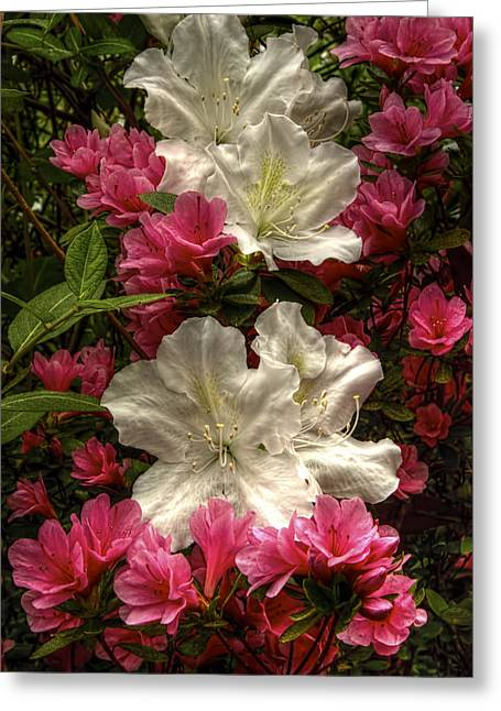 Merging Greeting Cards - Merging Azaleas  Greeting Card by Penny Lisowski