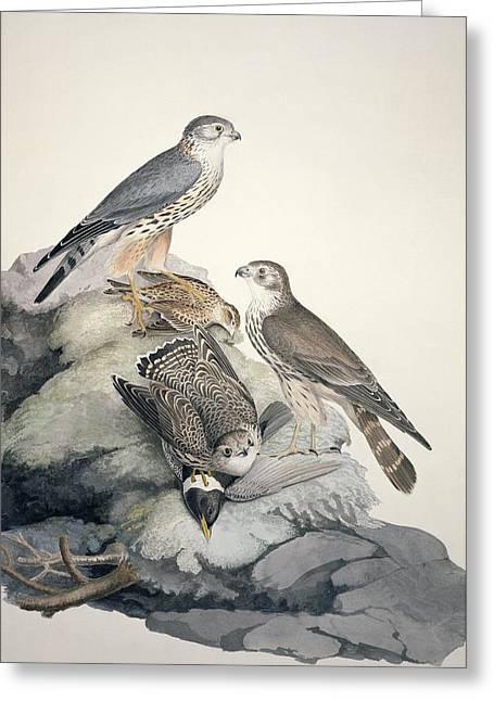 Merlin Greeting Cards - Merlin, 19th century Greeting Card by Science Photo Library