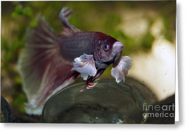 Betta Greeting Cards - Merlin 3 Greeting Card by Cassandra Buckley