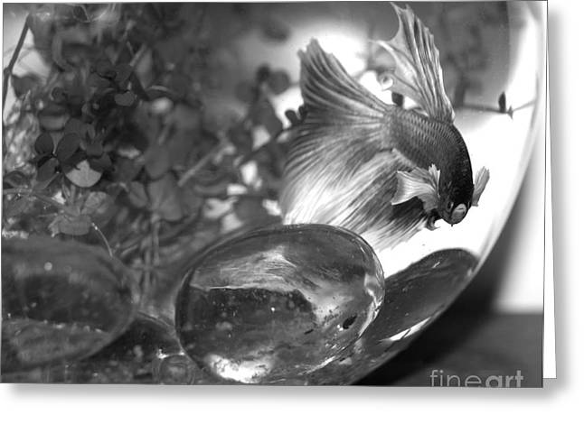 Betta Greeting Cards - Merlin Greeting Card by Cassandra Buckley