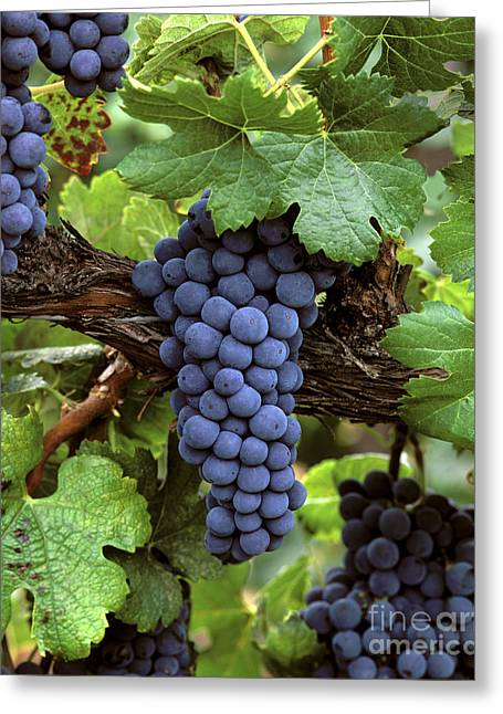 Harvest Time Greeting Cards - Merlot Clusters Greeting Card by Craig Lovell
