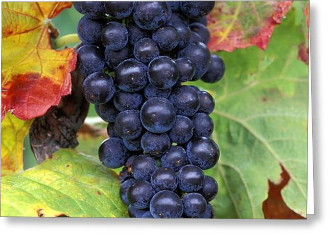 Merlot Grapes Greeting Card by Kevin Miller