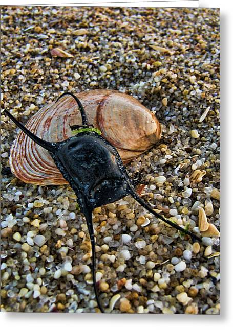 Mermaids Purse Greeting Card by Heather Applegate