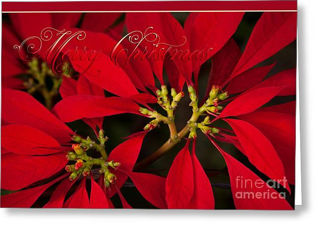 Euphorbiaceae Greeting Cards - Merry Christmas - Poinsettia  - Euphorbia pulcherrima Greeting Card by Sharon Mau