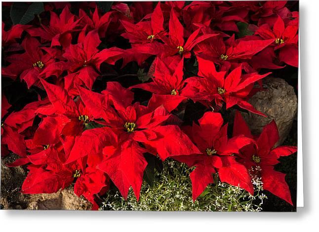 Festivities Greeting Cards - Merry Scarlet Poinsettias Christmas Star Greeting Card by Georgia Mizuleva