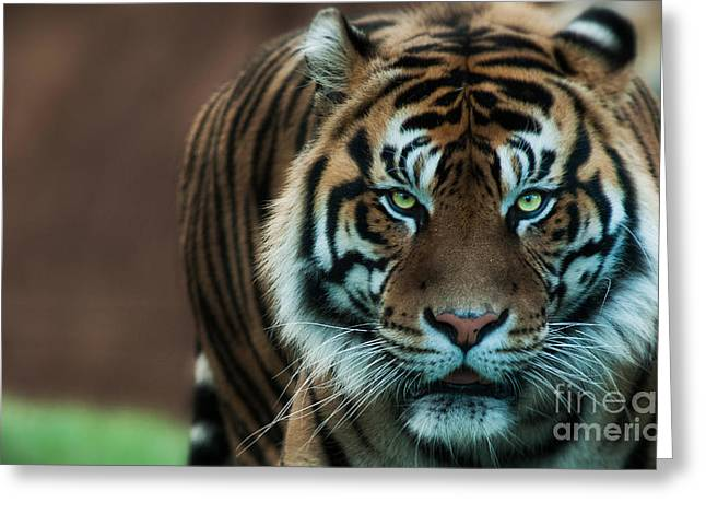 Tigris Greeting Cards - Mesmerizing Greeting Card by Adrian Tavano