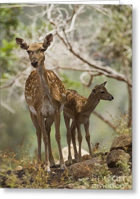 Dama Greeting Cards - Mesopotamian Fallow deer 4 Greeting Card by Eyal Bartov