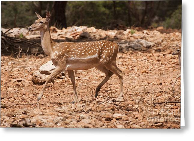 Dama Greeting Cards - Mesopotamian Fallow deer  Greeting Card by Eyal Bartov