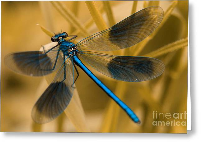 Demoiselles Greeting Cards - Metallic Blue Greeting Card by Brothers Beerens