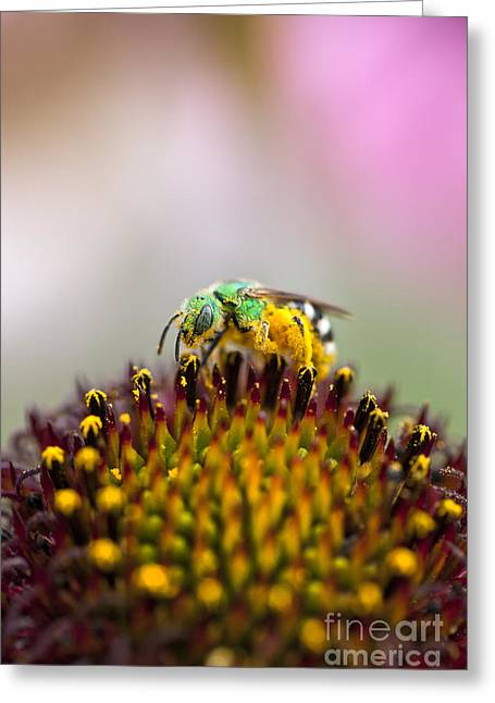 Sweat Greeting Cards - Metallic Green Bee Macro on a Coneflower Greeting Card by Brandon Alms