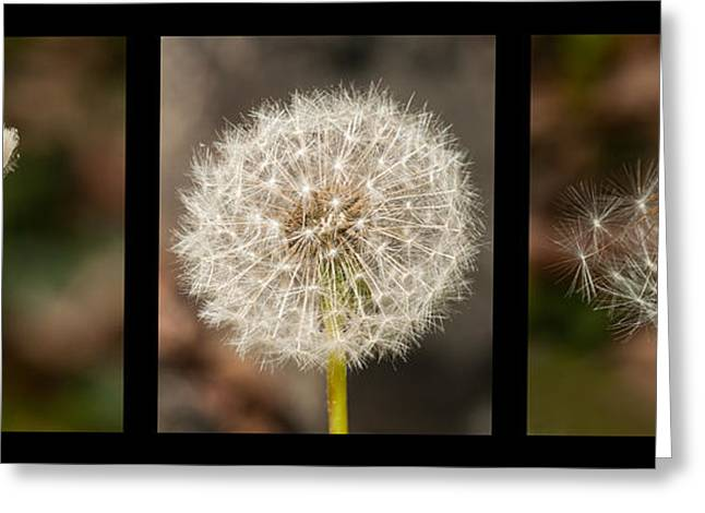 Dandilion Greeting Cards - Metamorphosis Greeting Card by Lara Ellis