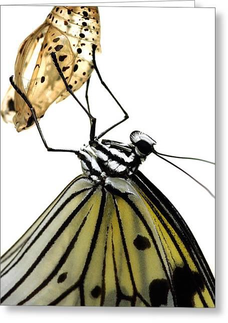 Pupa Greeting Cards - Metamorphosis Greeting Card by Roeselien Raimond
