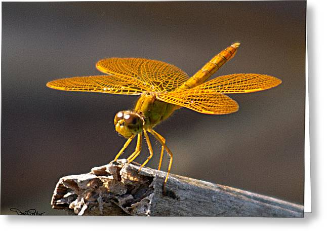Amberwing Greeting Cards - Mexican Amberwing Greeting Card by David Salter