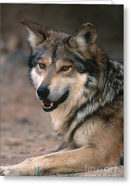 Wolf Head Greeting Cards - Mexican Gray Wolf Greeting Card by Art Wolfe