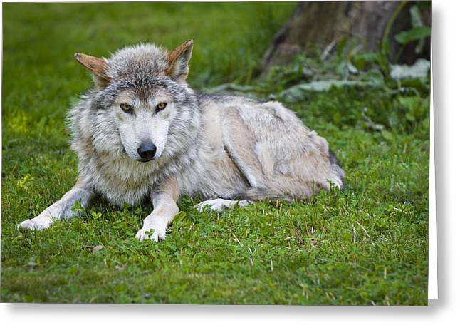 Resting Greeting Cards - Mexican Gray Wolf Greeting Card by Sebastian Musial