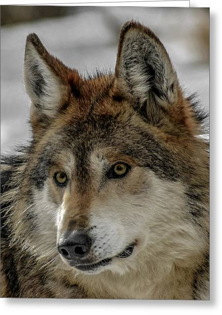 Mexican Grey Wolf Upclose Greeting Card by Ernie Echols