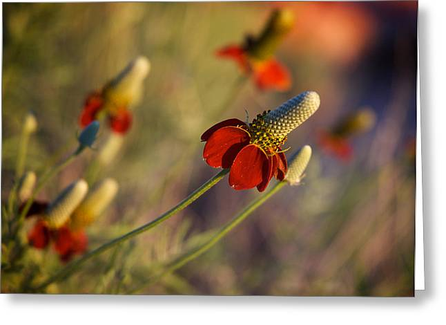 Aster Greeting Cards - Mexican Hat Ratibida columnifera Greeting Card by Mary Lee Dereske
