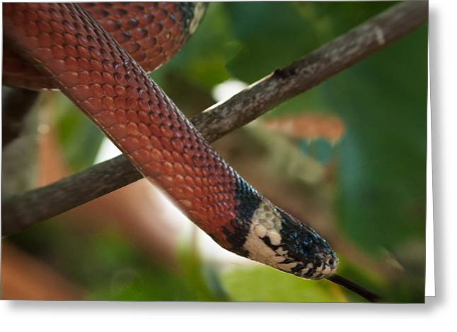 Gift Ideas For Him Greeting Cards - Mexican Milk snake Greeting Card by Sammy Miller