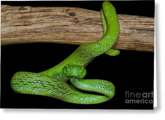 Bothriechis Greeting Cards - Mexican Palm Viper Greeting Card by Dante Fenolio