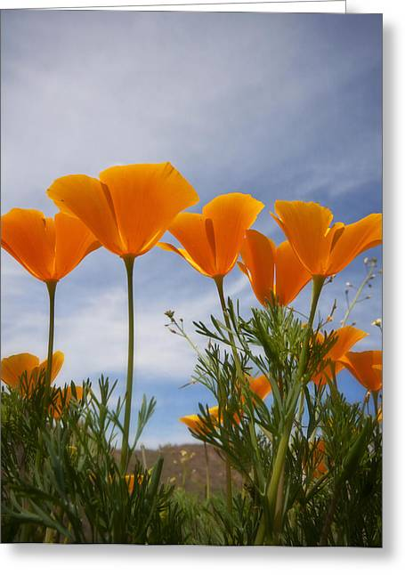 Golden Poppies Greeting Cards - Mexican Poppies  Greeting Card by Saija  Lehtonen