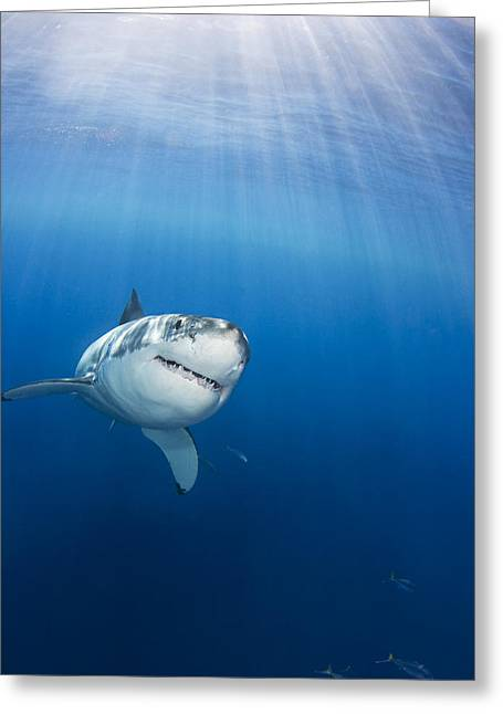 Guadalupe Island Greeting Cards - Mexico, Great White Shark Carcharodon Greeting Card by Dave Fleetham