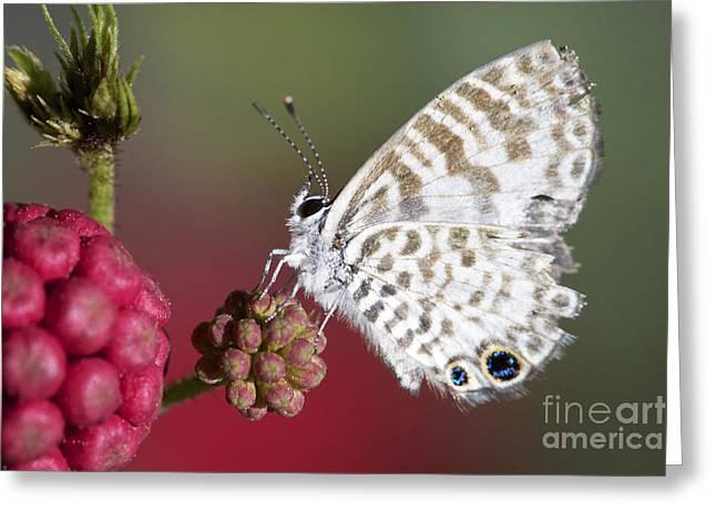 Pamela Gail Torres Greeting Cards - Miami Blue Butterfly I Greeting Card by Pamela Gail Torres